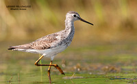 LESSER YELLOWLEGS  614-107