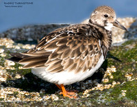 RUDDY TURNSTONE IN WINTER PLUMAGE 375-141