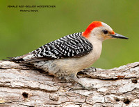 FEMALE RED-BELLIED WOODPECKER 810-117