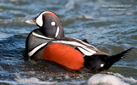 MALE HARLEQUIN DUCK  697-132