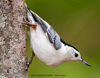 WHITE-BREASTED NUTHATCH 810-001