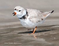 PIPING PLOVER 1142-100
