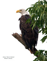 ADULT BALD EAGLE 867-141