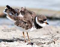 SEMI PALMATED PLOVER 1146-155