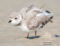 PIPING PLOVER 1146-147