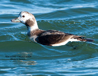 HEN LONG-TAILED DUCK 1053-031