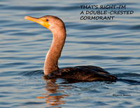 DOUBLE-CRESTED CORMORANT 918-009