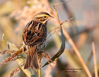 SAVANNAH SPARROW 922-203