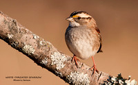 WHITE-THROATED SPARROW  721-117