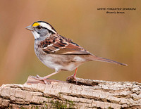 WHITE-THROATED SPARROW 915-061