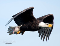 ADULT BALD EAGLE AND FISH 941-012