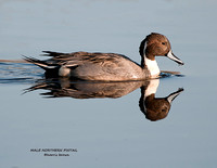 MALE NORTHERN PINTAIL 923-178