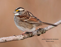 WHITE-THROATED SPARROW 934-041