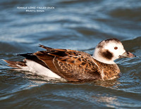 FEMALE LONG-TAILED DUCK 952-049