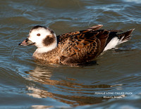 FEMALE LONG-TAILED DUCK 952-045