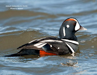 MALE HARLEQUIN DUCK 954-052