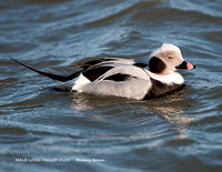 MALE LONG-TAILED DUCK 952-094