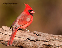 MALE NORTHERN CARDINAL 927-030