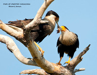 PAIR OF CRESTED CARACARA 971-320