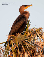 DOUBLE CRESTED CORMORANT 966-192