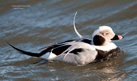 DRAKE LONG-TAILED DUCK 952-113