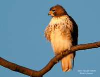 RED-TAILED HAWK 957-034