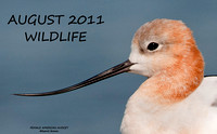 FEMALE AMERICAN AVOCET TITLE  617-083