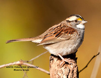 WHITE-THROATED SPARROW  1038-69