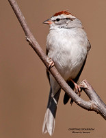 CHIPPING SPARROW 796-159