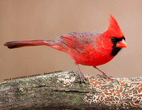 MALE NORTHERN CARDINAL 934-101
