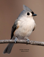 TUFTED TITMOUSE 986-101