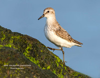 SEMI-PALMATED SANDPIPER 1169-048