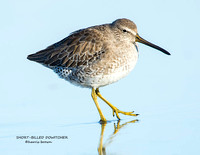 SHORT-BILLED DOWITCHER 1176-009