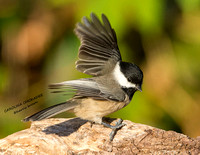 CAROLINA CHICKADEE 1177-001