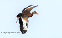 BLACK-BELLIED WHISTLING DUCK  1185-003