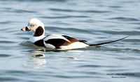 DRAKE LONG-TAILED DUCK 1190-033