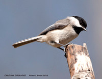 CAROLINA CHICKADEE  789-048