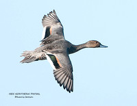 HEN NORTHERN PINTAIL 1112-074