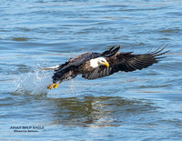 ADULT BALD EAGLE 1178-053