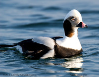 MALE LONG-TAILED DUCK 377-150
