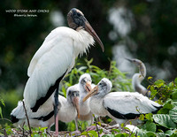 WOOD STORK AND CHICKS 998-027
