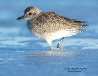 BLACK BELLIED PLOVER 1174-064