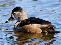 FEMALE RING-NECKED DUCK  350-066