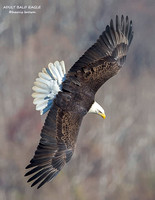 ADULT BALD EAGLE 1178-049