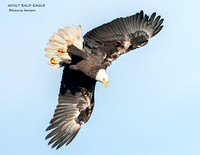 ADULT BALD EAGLE 1176-116