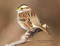 WHITE-THROATED SPARROW 1193-060