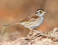 WHITE-THROATED SPARROW 1193-061