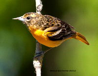 FEMALE BALTIMORE ORIOLE 838-010