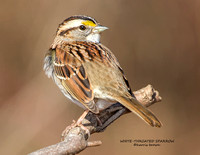 WHITE-THROATED SPARROW 1193-059