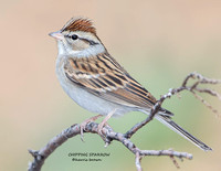 CHIPPING SPARROW 2  1189-109